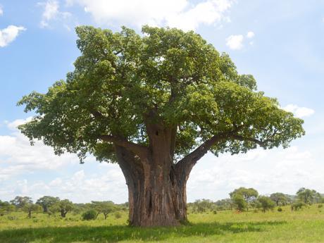 Baobab v národním parku Tarangire