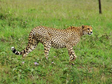 Gepard je nejrychlejším suchozemským živočichem na světě