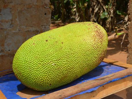 Jackfruit neboli žakie je největší ovoce na světě