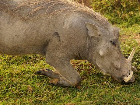 Ngorongoro: pasoucí se prase bradavičnaté