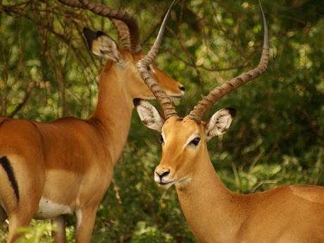 Impaly - jeden z mnoha druhů antilop Tanzanie