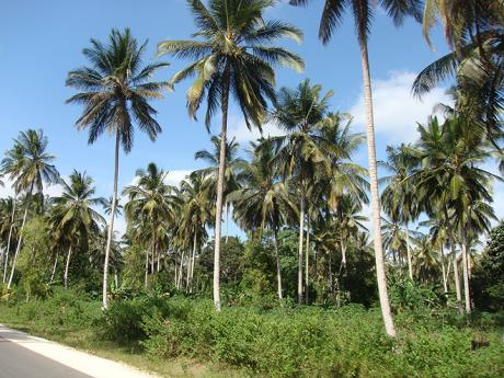 Kokosové palmy na Zanzibaru