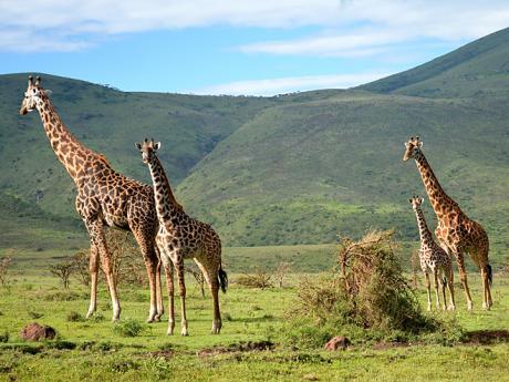 Žirafy žijí vmenších skupinách, jejichž složení se neustále mění