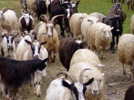 Setkání se stádem koz na túře